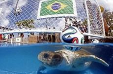 Rùa cảnh thay thế gấu trúc dự đoán kết quả World Cup