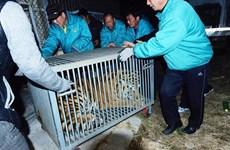 Ba quan chức Trung Quốc bị bắt vì nuôi 11 con hổ Siberia