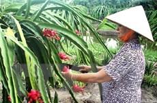 Vĩnh Phúc chứng nhận đăng ký nhãn hiệu Thanh Long ruột đỏ