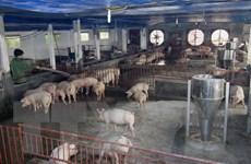 Chăn nuôi gia súc, gia cầm ở Hà Nội vẫn tự phát, thiếu quy hoạch