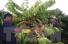 Càphê arabica Sơn La vào vụ, giá tăng nhẹ lên 7.000 đồng mỗi kg