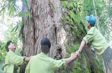 Quảng Nam: Quần thể pơmu ở Tây Giang là cây di sản Việt Nam