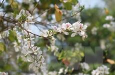 Hà Nội trồng 1.000 cây hoa ban trên đường Võ Nguyên Giáp
