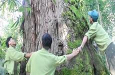 Kiểm tra các cá nhân, tổ chức nghi có vi phạm trong vụ phá rừng pơmu