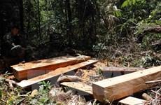Yêu cầu báo cáo Thủ tướng kết quả điều tra vụ phá rừng pơmu