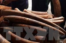 9 tháng tù đối với đối tượng buôn lậu ngà voi và sừng tê giác