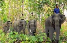 Hành động khẩn cấp bảo tồn voi rừng ở Vườn quốc gia Yok Don