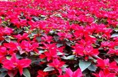 Mexico ghi danh vào Guinness thế giới về tấm thảm hoa lớn nhất