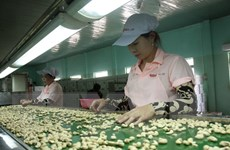 Ngành chế biến điều còn phụ thuộc vào nguyên liệu nhập khẩu