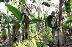 """Chuối """"ế"""" và câu chuyện giải cứu nông sản của Việt Nam"""