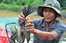 Kiên Giang phấn đấu sản lượng tôm nuôi đạt 63.000 tấn