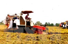 Sản xuất và xuất khẩu gạo Việt Nam vẫn vấp phải rất nhiều khó khăn