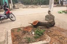 Yêu cầu làm rõ việc chặt cây xanh gây phản cảm ở Thạch Thất
