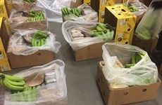 Hơn 2 tấn cocaine giấu trong container chở chuối bị bắt giữ