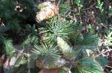 Bảo tồn 2 loài cây quý hiếm ở Khu bảo tồn thiên nhiên Pù Luông
