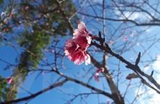 Đà Lạt: Không cần đi Nhật Bản vẫn ngắm được hoa Anh Đào