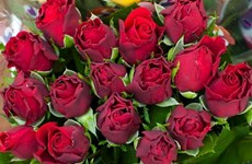 Australia nhập khẩu 10,5 triệu bông hoa hồng nhân dịp Valentine