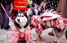 """Lễ truyền thống """"Shichi-go-san"""" dành cho thú cưng tại Nhật Bản"""
