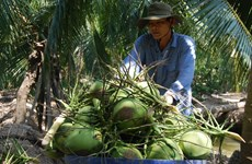 Dừa xiêm xanh Bến Tre được cấp giấy chứng nhận đăng ký chỉ dẫn địa lý