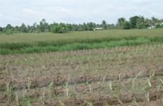 Tìm ra loại gene giúp giảm tác động nhiễm mặn cho cây lúa