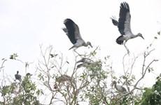 [Photo] Cò nhạn quý hiếm về sinh sống nhiều ở rừng tràm Gáo Giồng