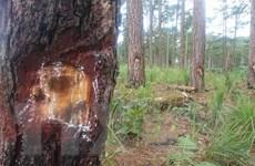 """Lâm Đồng: Thêm hàng chục cây thông bị """"bức tử"""" bằng hóa chất ở Bảo Lâm"""