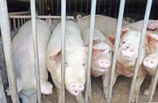 Nhật Bản mở rộng danh sách thị trường xuất khẩu thịt lợn sau dịch tả