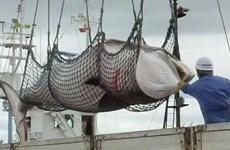 Nhật Bản có ý định nối lại săn bắt cá voi vì mục đích thương mại