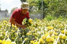 Nhiều nhà vườn trồng hoa cúc và quất phục vụ Tết đã xuất bán