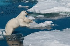 Quần đảo Novaya Zemlya ban bố tình trạng khẩn cấp vì gấu trắng Bắc Cực