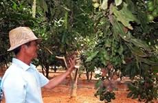 Lâm Đồng xuất khẩu hạt mắcca sang Hàn Quốc và Singapore