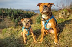 """Chú chó mù Amos luôn có """"vệ sỹ """" dẫn đường và bảo vệ riêng"""