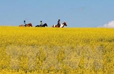Canada mạnh tay giúp nông dân trong cuộc chiến cải dầu với Trung Quốc