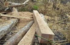 Cảnh cáo Giám đốc công ty lâm nghiệp để khai thác rừng trái phép