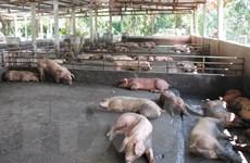 TP.HCM bảo đảm nguồn cung thịt lợn an toàn cho người tiêu dùng