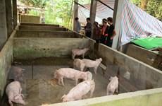 Rà soát tìm phương án hiệu quả phòng chống dịch tả lợn châu Phi