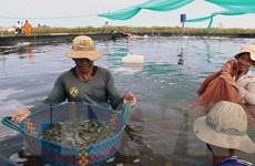 Giá tôm thẻ chân trắng và tôm sú thương phẩm ở Trà Vinh tăng trở lại
