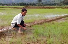 Nạo vét thi công thủy điện, cả trăm hecta lúa thiếu nước