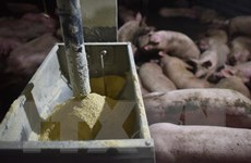 Nga thông báo ca dịch tả lợn châu Phi mới gần biên giới Trung Quốc