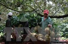 Hướng tới sản xuất bền vững đối với cây sầu riêng ở Đắk Lắk