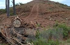 Lâm Đồng: Rừng thông gần 20 năm tuổi lại bị triệt hạ