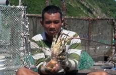 Người dân Khánh Hòa lao đao vì giá tôm hùm thấp kỷ lục