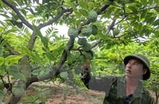 Na Chí Linh - 'loại cây đổi đời' đối với nhiều nông dân ở Hải Dương