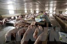 Bình Thuận và Phú Yên công bố hết dịch tả lợn châu Phi