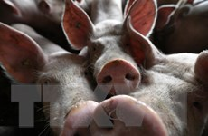 Indonesia thận trọng trước nguy cơ dịch tả lợn châu Phi bùng phát