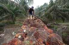 Căng thẳng thương mại EU-Indonesia gia tăng do vấn đề dầu cọ