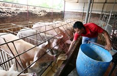 Giá thịt lợn trên thế giới đang tăng, không riêng Việt Nam