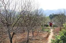 Về Đông Sơn những ngày Xuân chiêm ngưỡng làng đào phai 20 tỷ đồng