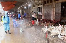 Hà Nội: Siết chặt kinh doanh gia cầm phòng ngừa dịch cúm