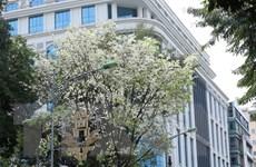 Ngắm sắc trắng hoa sưa giữa Hà Nội mùa thay lá